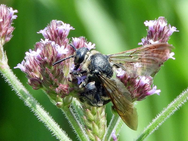 ハラナガツチバチ♀