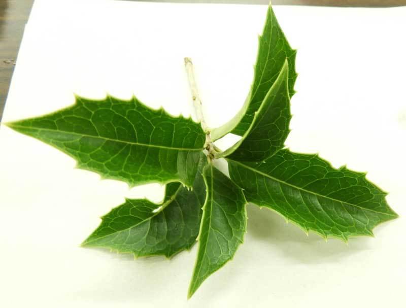 ヒイラギモクセイの葉