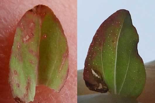 ヒメオトギリの葉