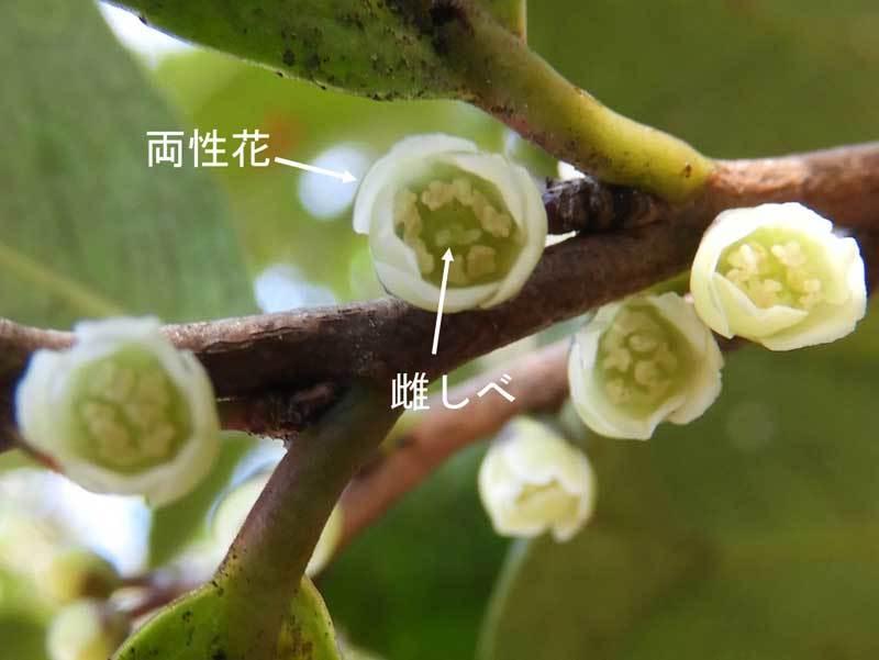 ヒサカキ白花両性花