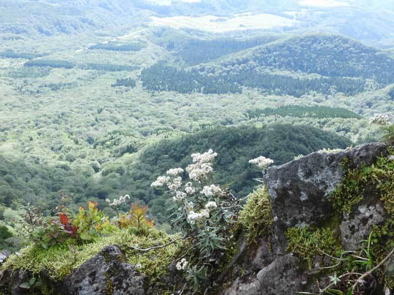 ホソバヤマハハコ
