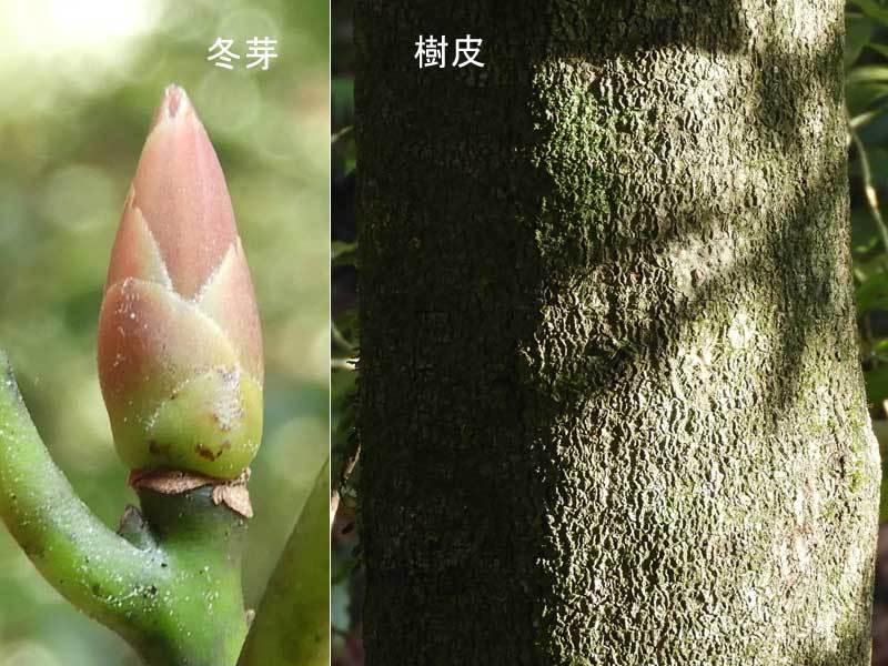 ホソバタブ冬芽と樹皮