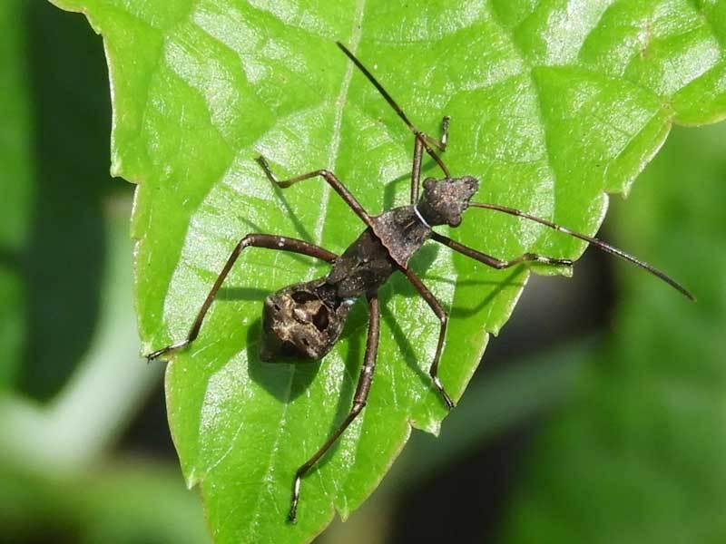 ホソヘリカメムシ4齢幼虫