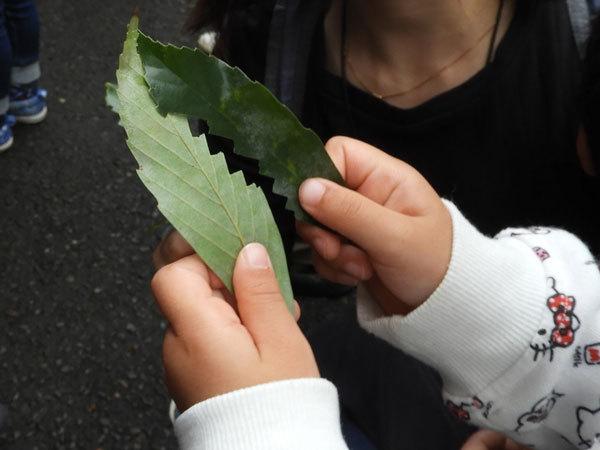 アラカシの葉ののこぎり