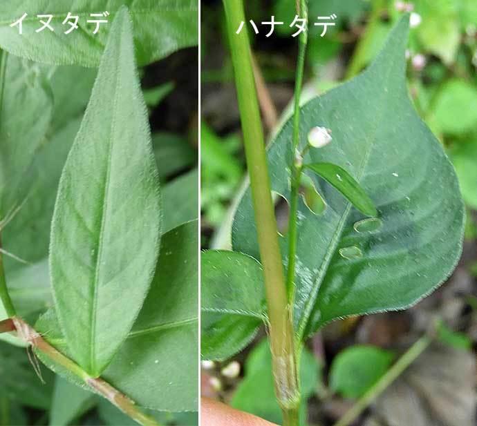 イヌタデとハナタデ葉の比較