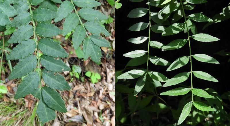 サンショウとイヌザンショウ葉の比較