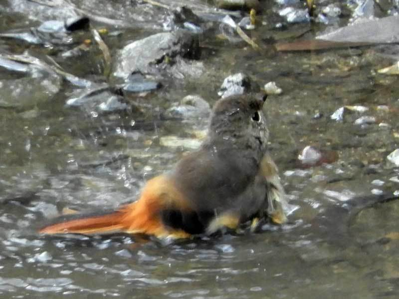 ジョウビタキ♀の水浴び