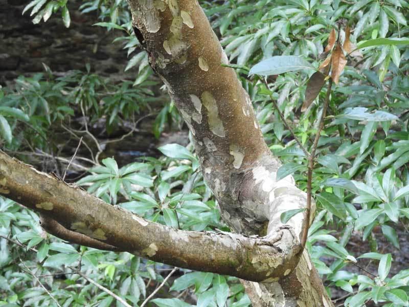 カゴノキ樹皮