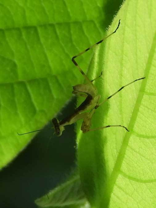 ハラビロカマキリ幼虫