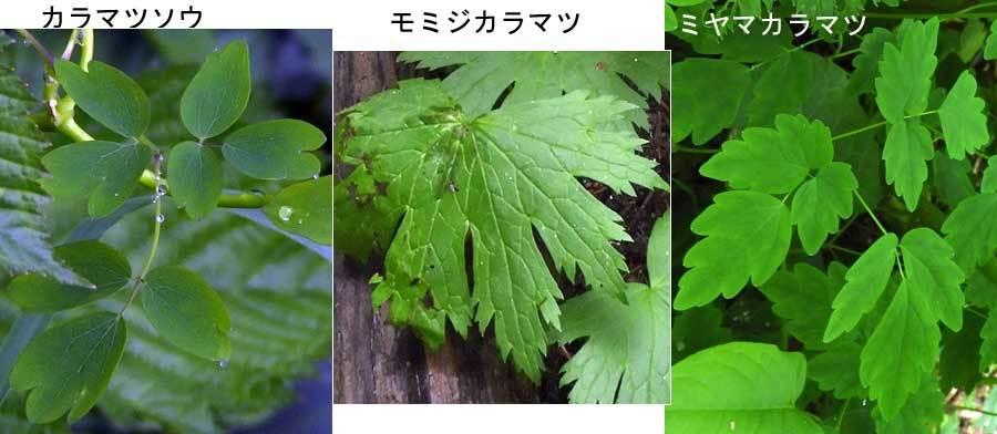カラマツソウ属葉三種比較