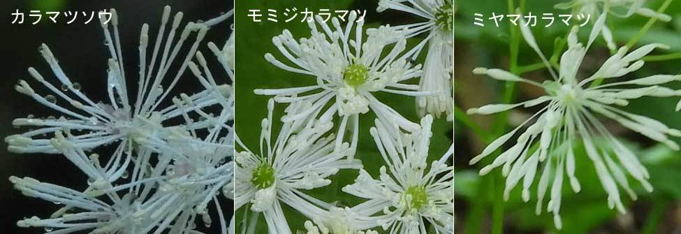 カラマツソウ属花三種比較