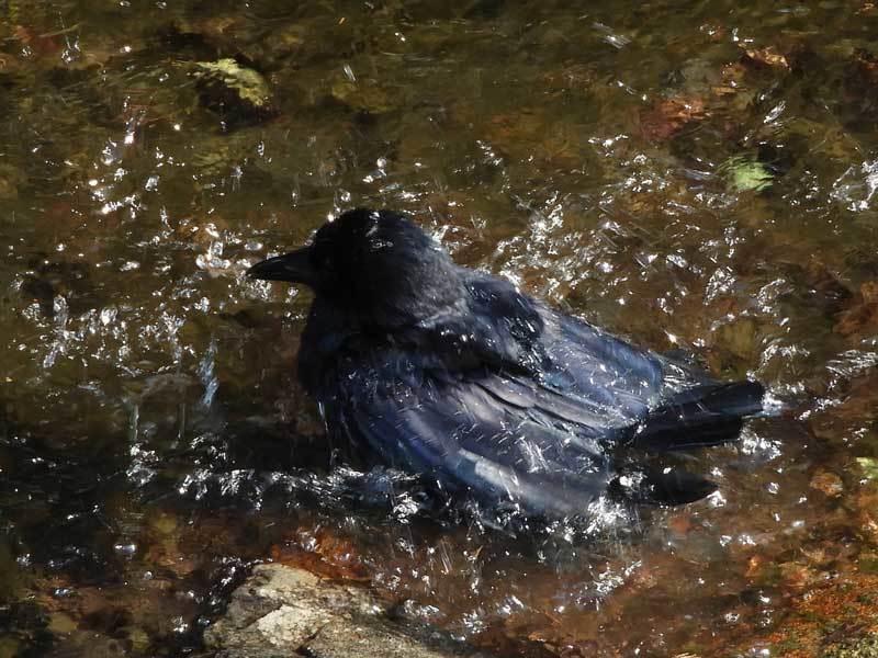 カラスの水浴び