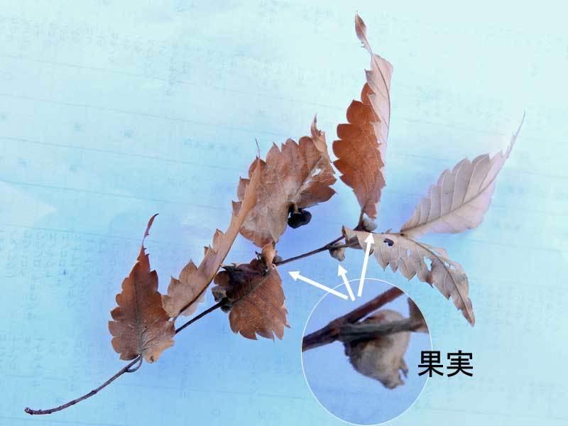 ケヤキの落枝