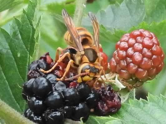 ブラックベリーを食べるキアシナガバチ