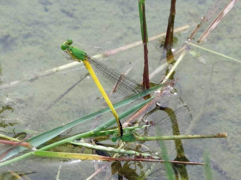 キイトトンボ♂♀尾つながり