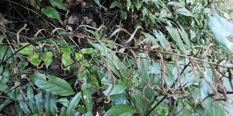 キジノオシダ胞子葉