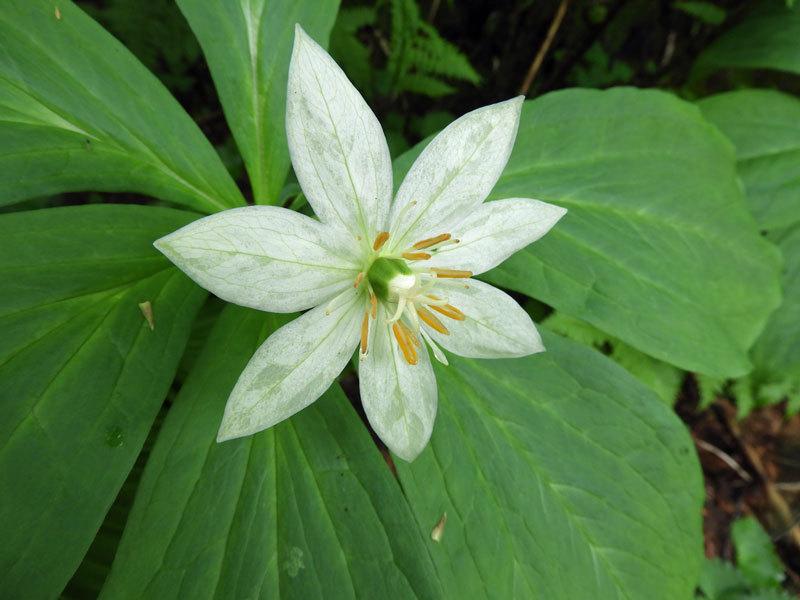 キヌガサソウ花