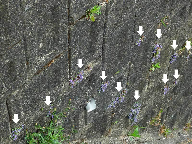 石垣の隙間のキランソウ
