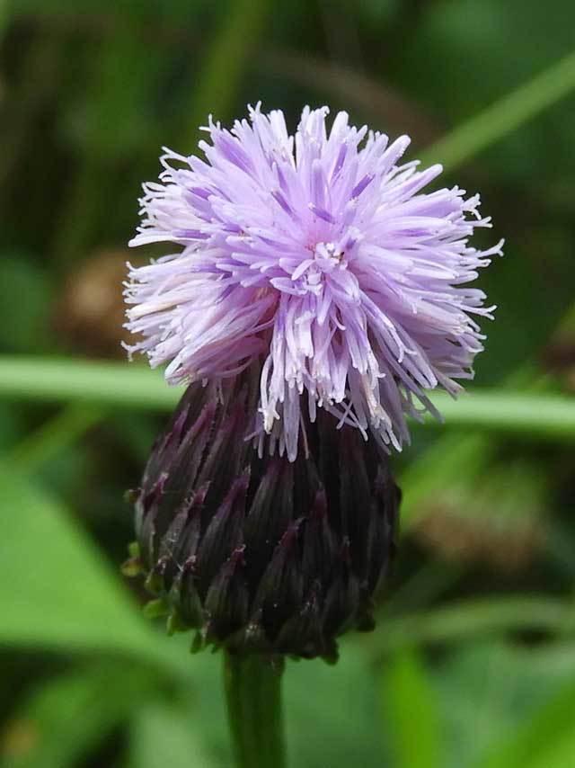 キツネアザミ花