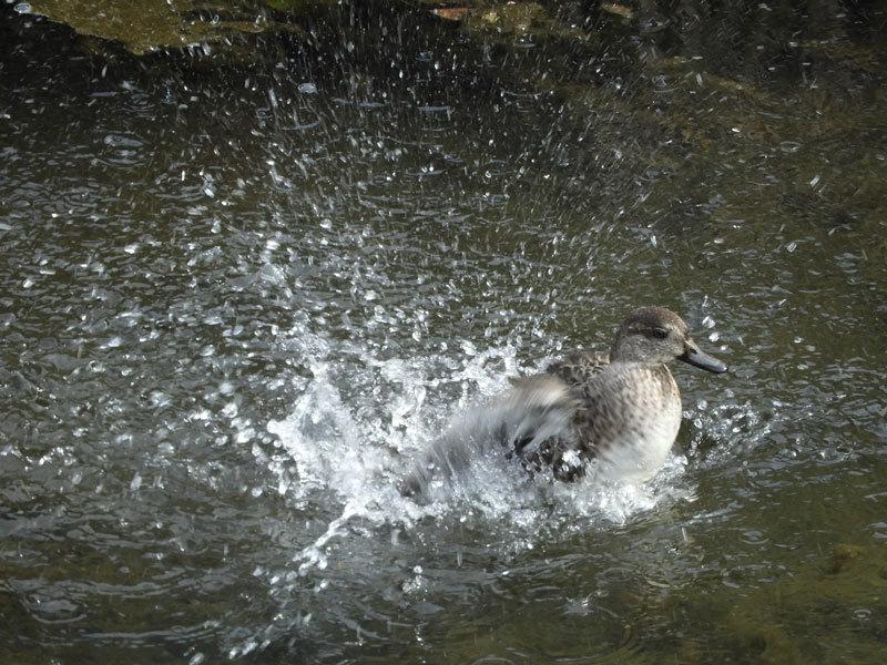 コガモ♀の水浴び