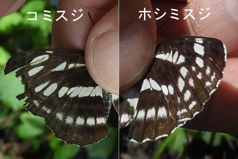 コミスジとホシミスジ表翅比較