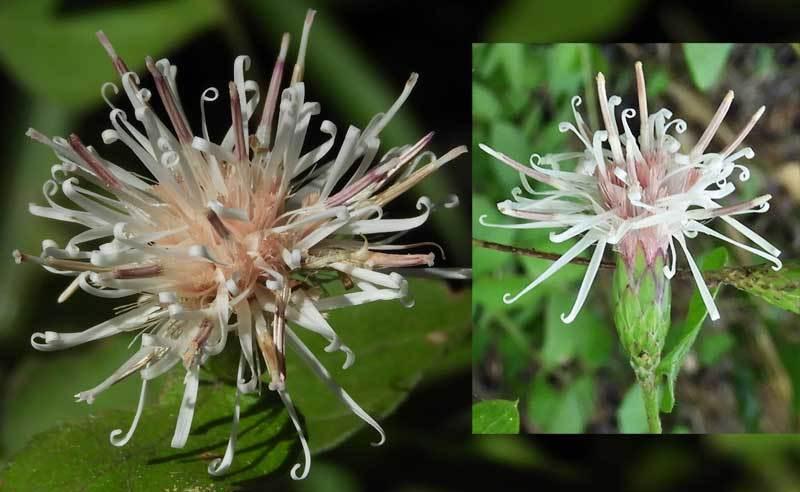 コウヤボウキの花