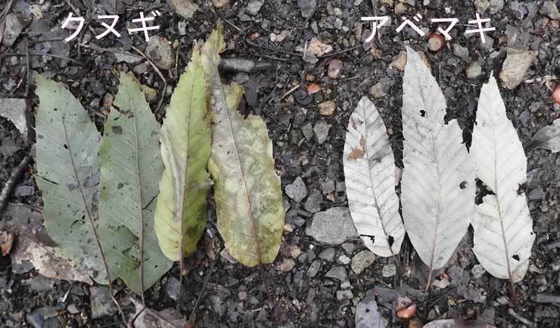 クヌギとコナラの葉の裏側
