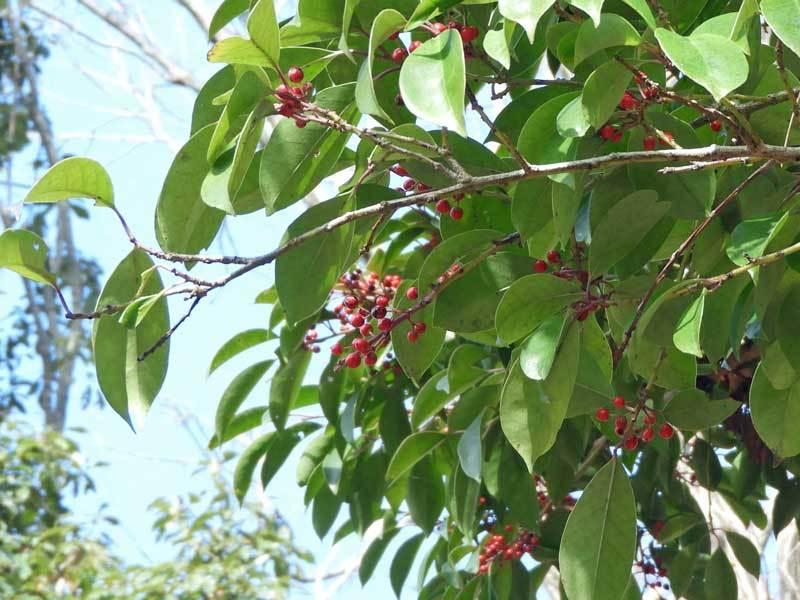 クロガネモチの果実