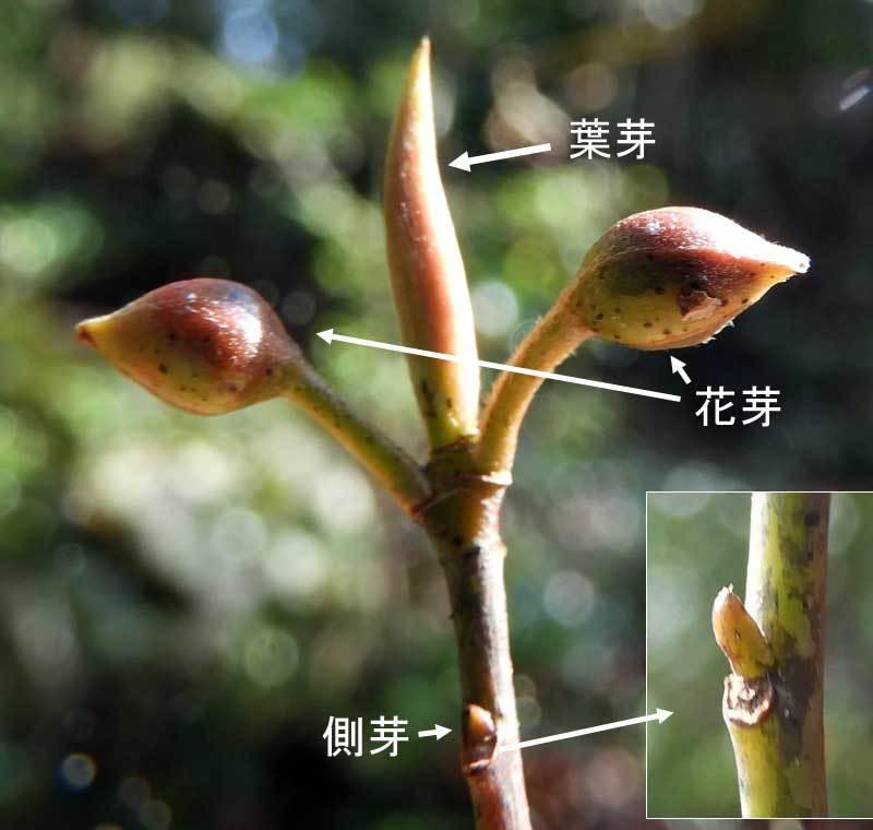 クロモジの冬芽