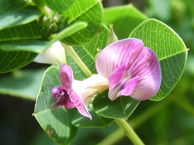 マルバハギ花