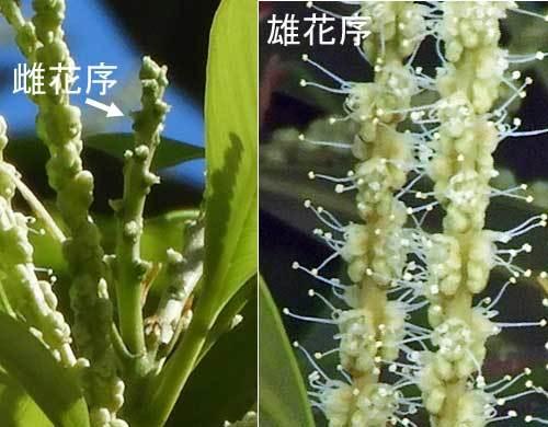 マテバシイ花