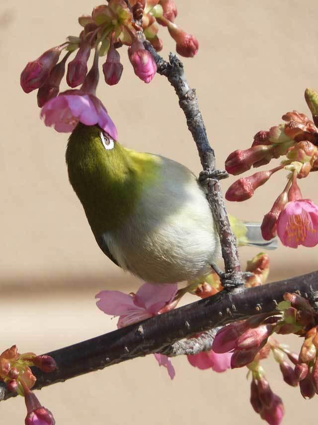 河津桜メジロ