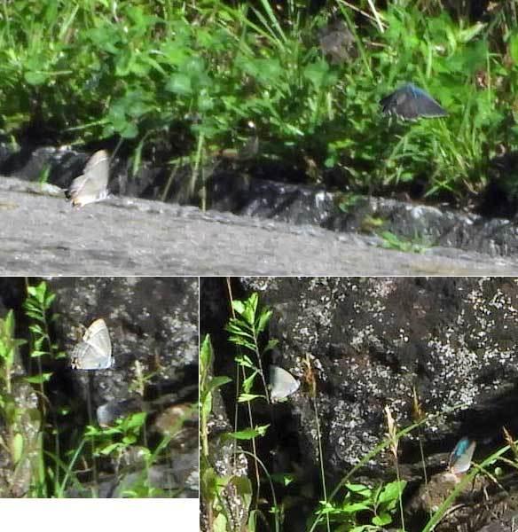 ミドリシジミ類の飛翔