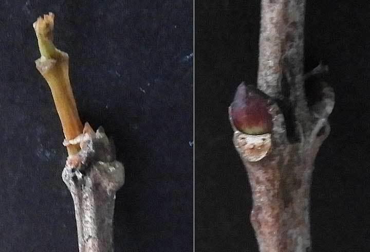 ミツバウツギの冬芽
