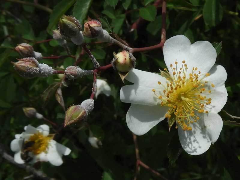 ミヤコイバラ花