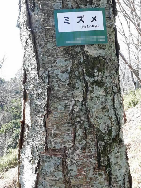 ミズメ樹皮