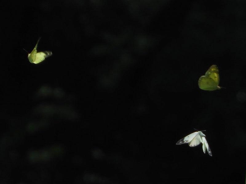 モンキチョウ飛翔
