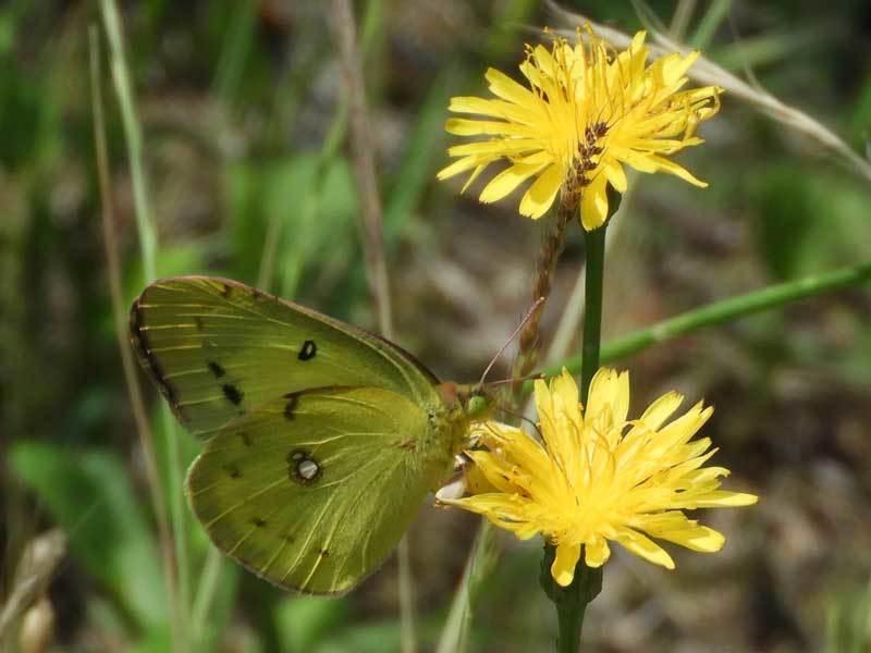 モンキチョウ黄色