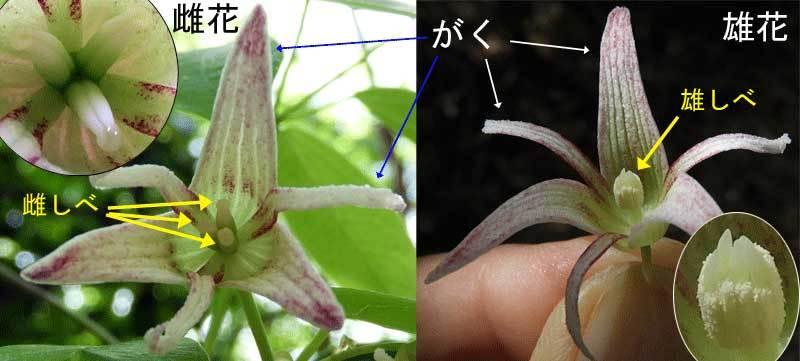 ムベ雌花と雄花