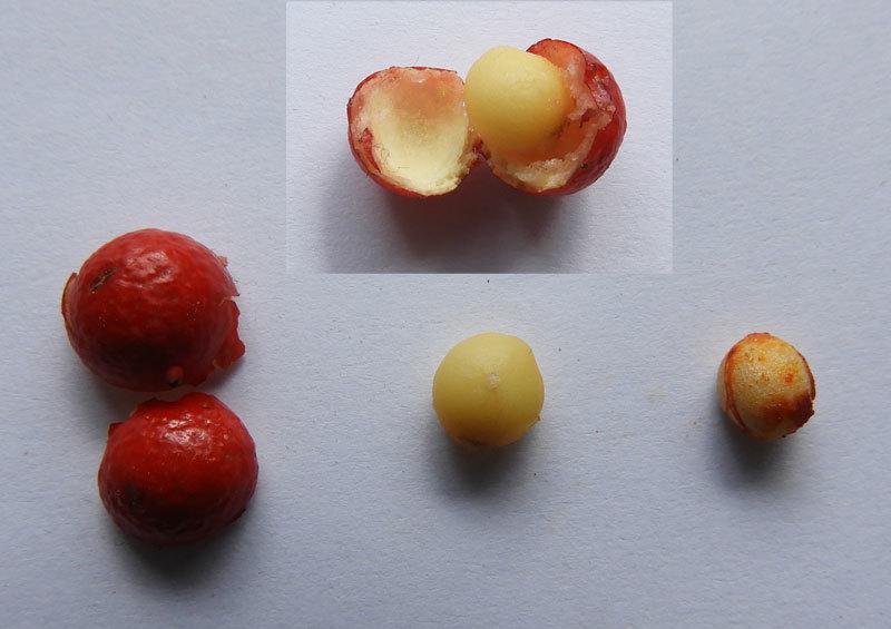 ナンテンの実と種