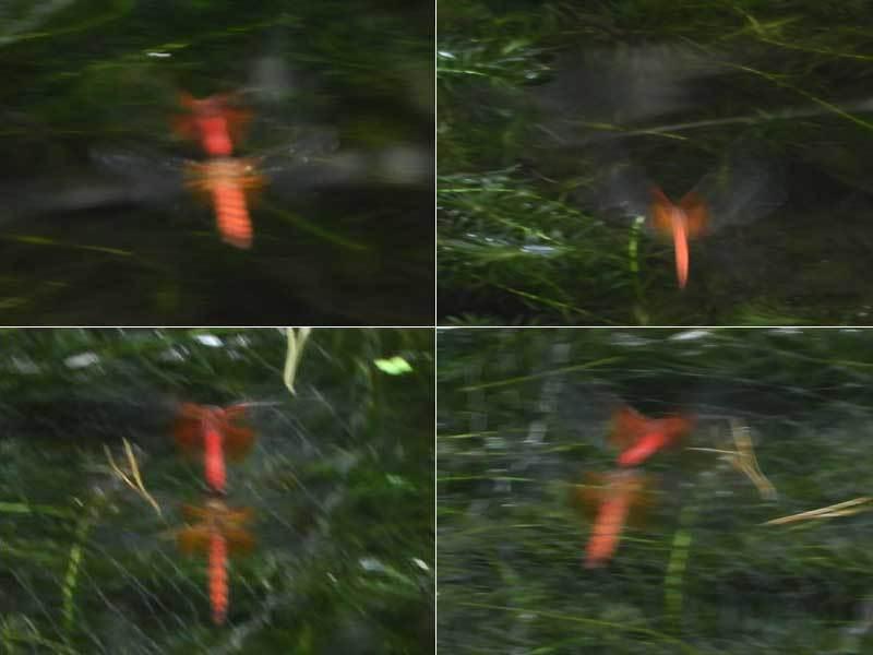 ネキトンボ♂♀♂尾つながりから見守り