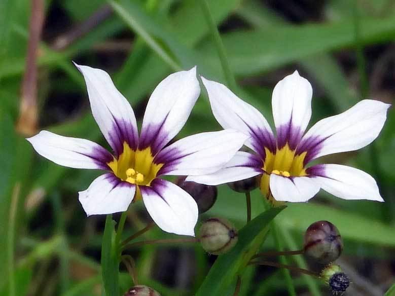 ニワゼキショウ白花