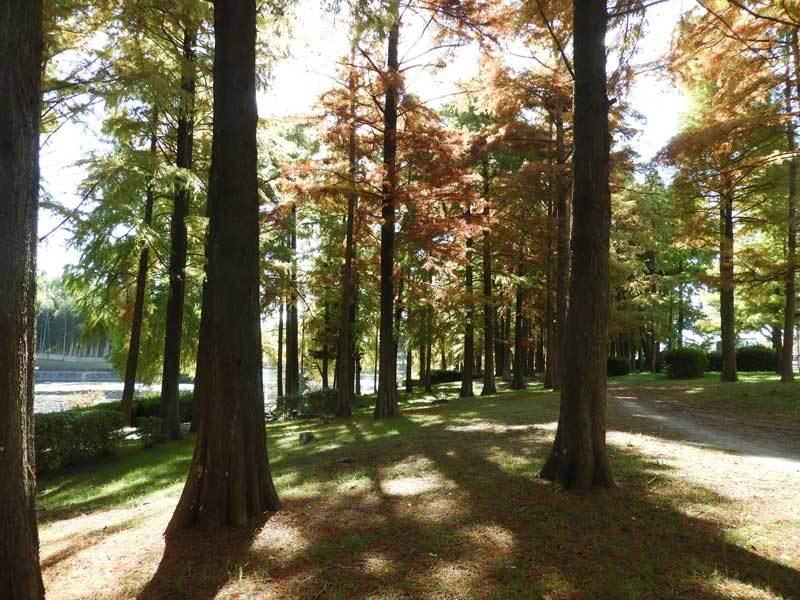 ヌマスギの林
