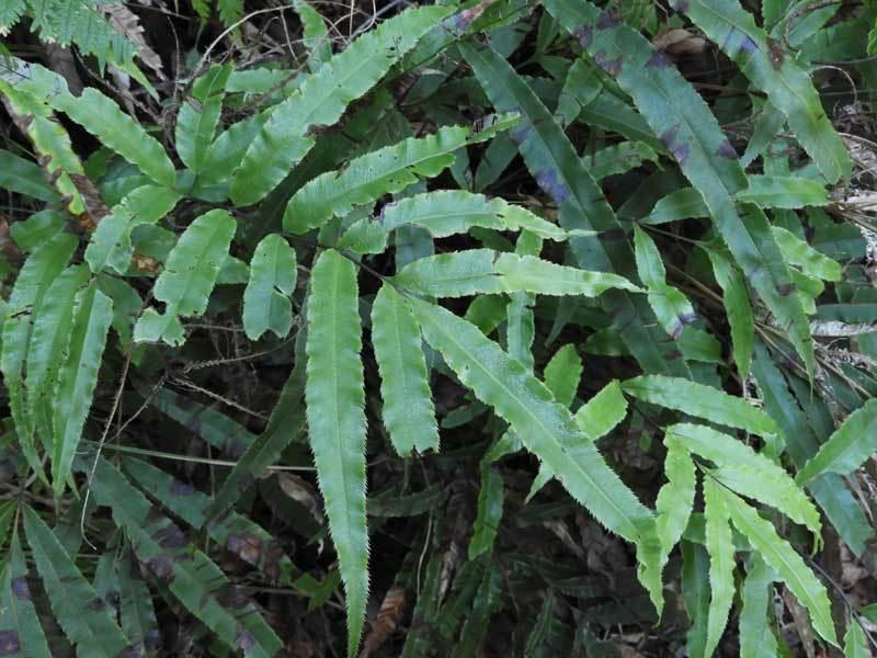 オオバノイノモトソウ栄養葉