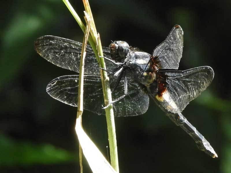 オオシオカラトンボ♀