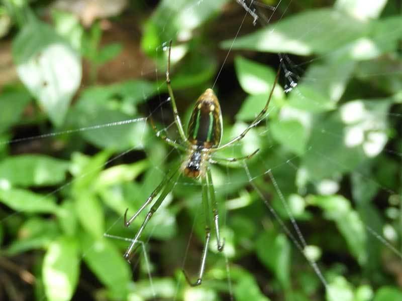オオシロカネグモ