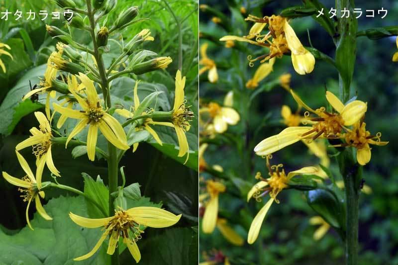オタカラコウとメタカラコウ花の比較