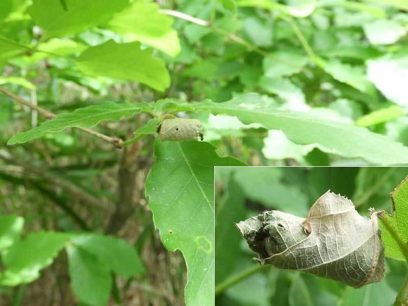 ヒメクロオトシブミのゆりかご