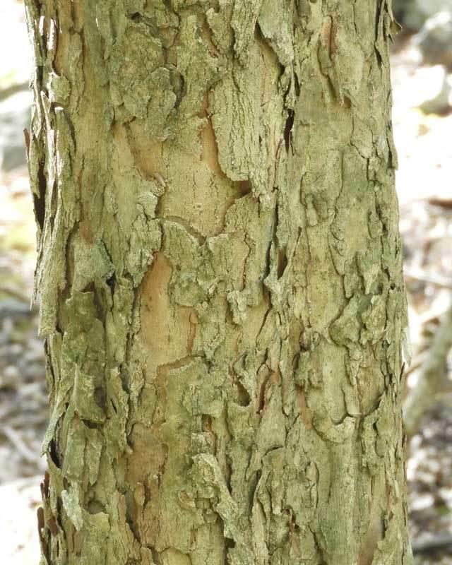 サンシュユの樹皮