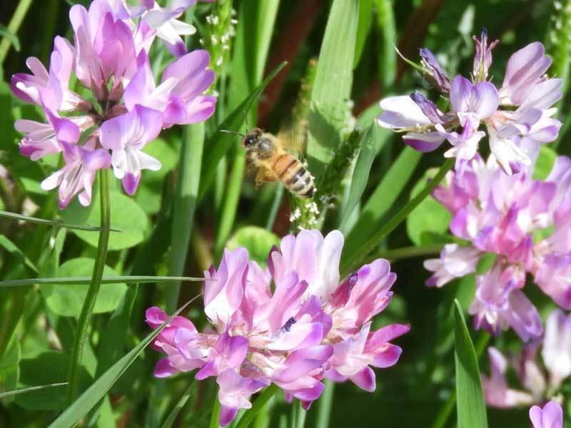 ゲンゲとセイヨウミツバチ
